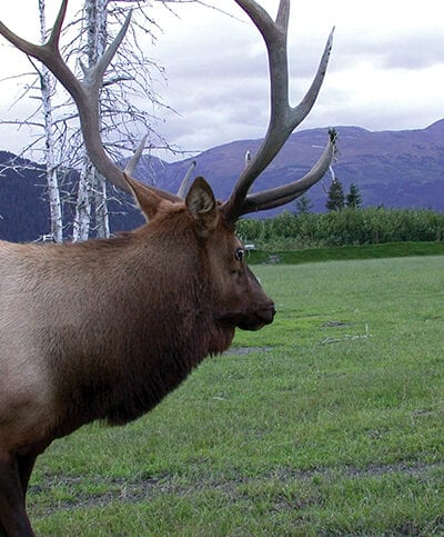 Elk grazing with West Virginia mountains behind them